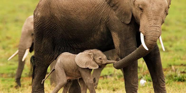 Quais são as principais características do elefante?