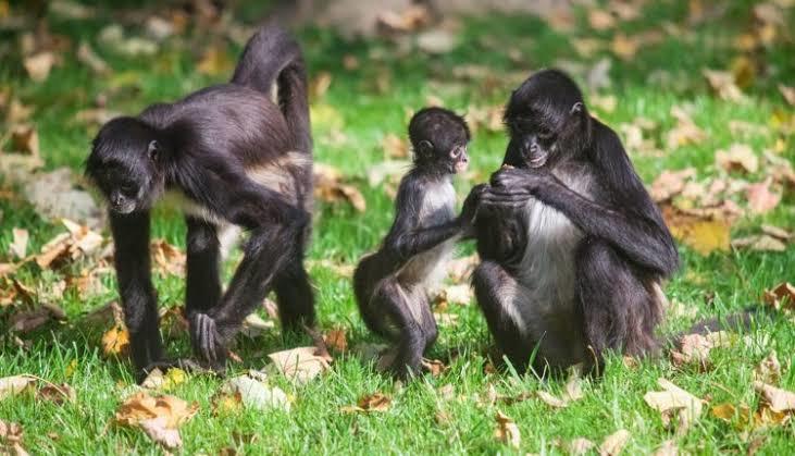 Quais são as principais características do macaco?